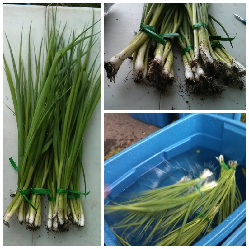 GreenOnion