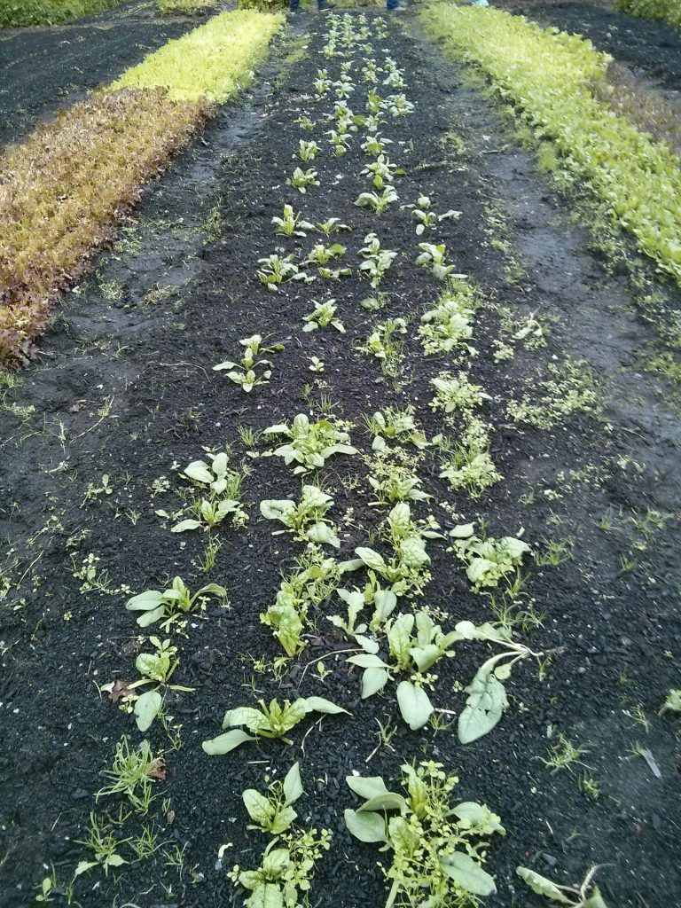 Spinach bed post-harvest. This is pretty much how big the spinach was last week, before the deluge...