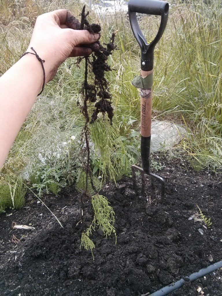 Horsetail root - yep, it is long!