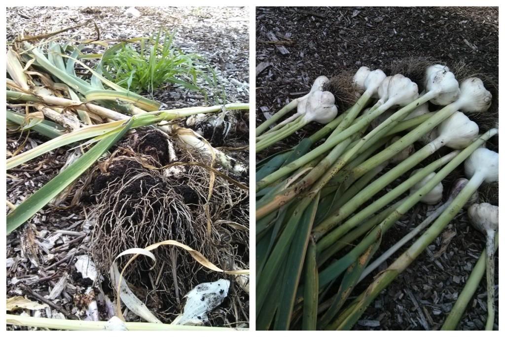 July 16 garlic