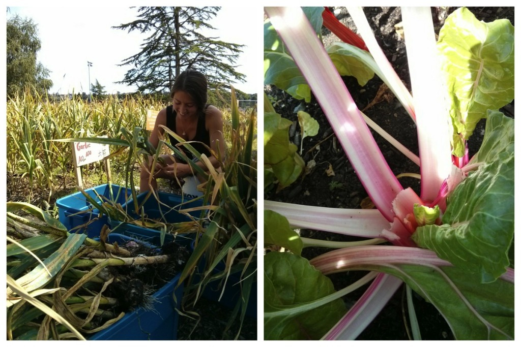 Cass cleans fresh hardneck garlic; candy cane chard - beautiful