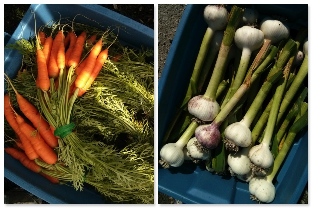 Carrots and garlic - harvested, binned, and ready for the cooler