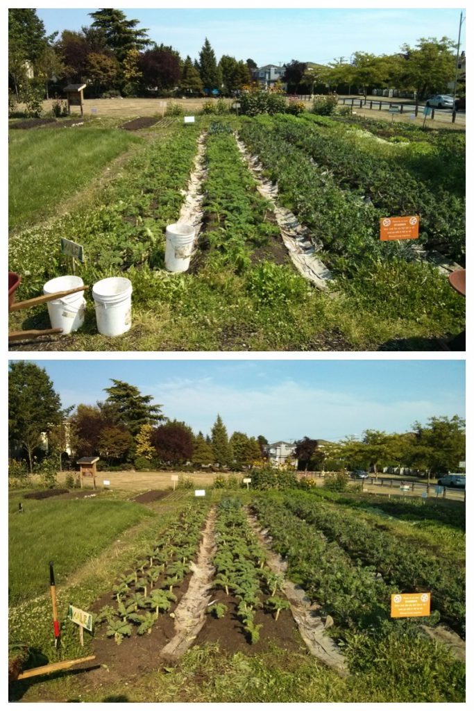 Kale beds - before and after
