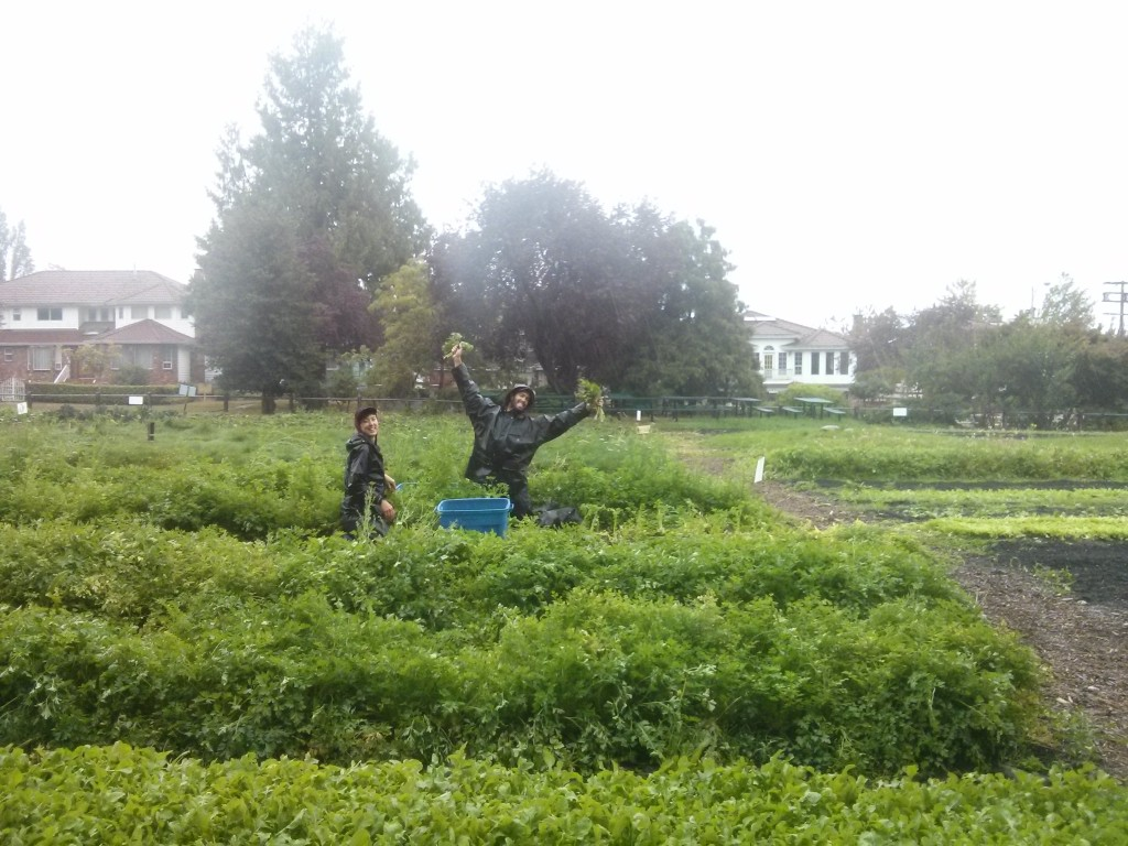 Dennis and Scott harvest parsley in the sea of green and rain