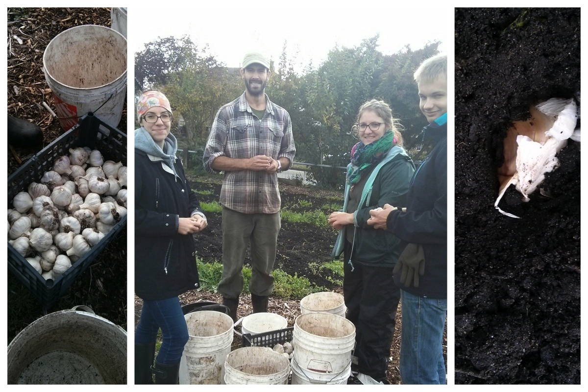 Hanne, Scott, Eleanor, Jonathan - breaking apart garlic for planting