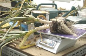 Weighing garlic